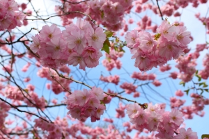 1387466_the_beauty_of_cherry_blossoms